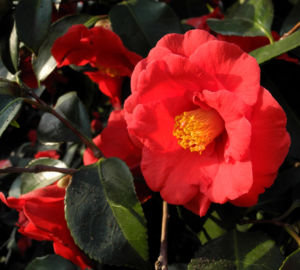 Kamelie Bluete rot Camellia japonica 09