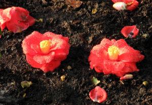 Kamelie Bluete rot Camellia japonica 12