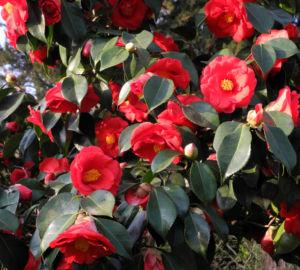Kamelie Bluete rot Camellia japonica 13