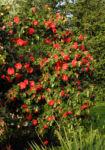Bild: Kamelie Strauch Blüte rot Camellia japonica