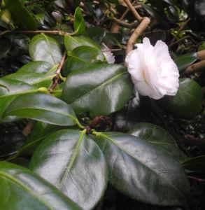 Kamelie Bluete weiss Camellia japonica 01
