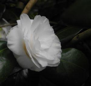 Kamelie Bluete weiss Camellia japonica 02