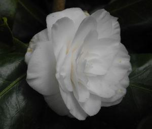 Kamelie Bluete weiss Camellia japonica 03