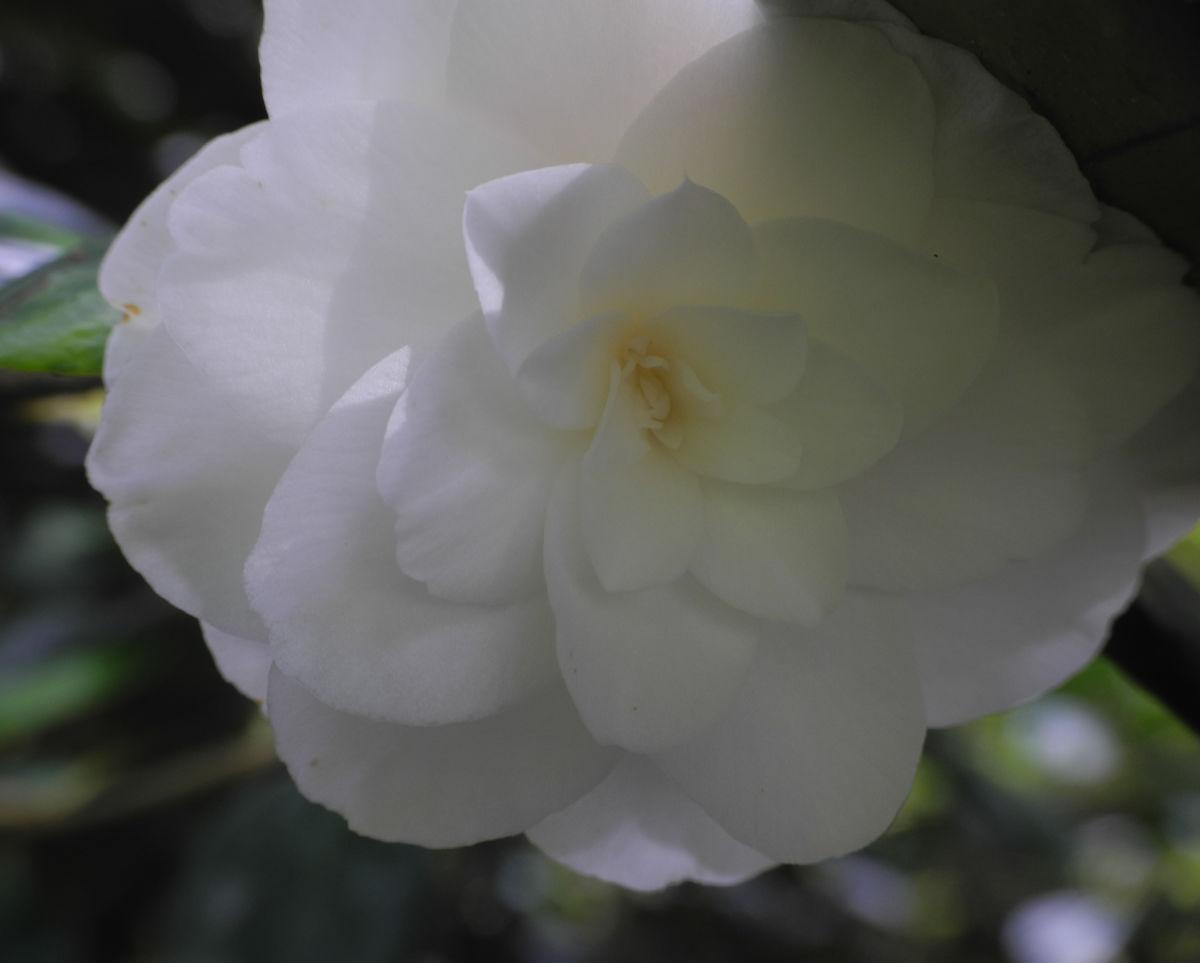 Kamelie Bluete weiss Camellia japonica