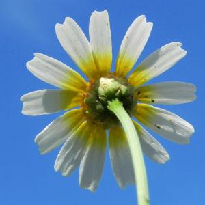 Bild: Kamille Bluete gelb weiss Hymenostemma pseudanthemis