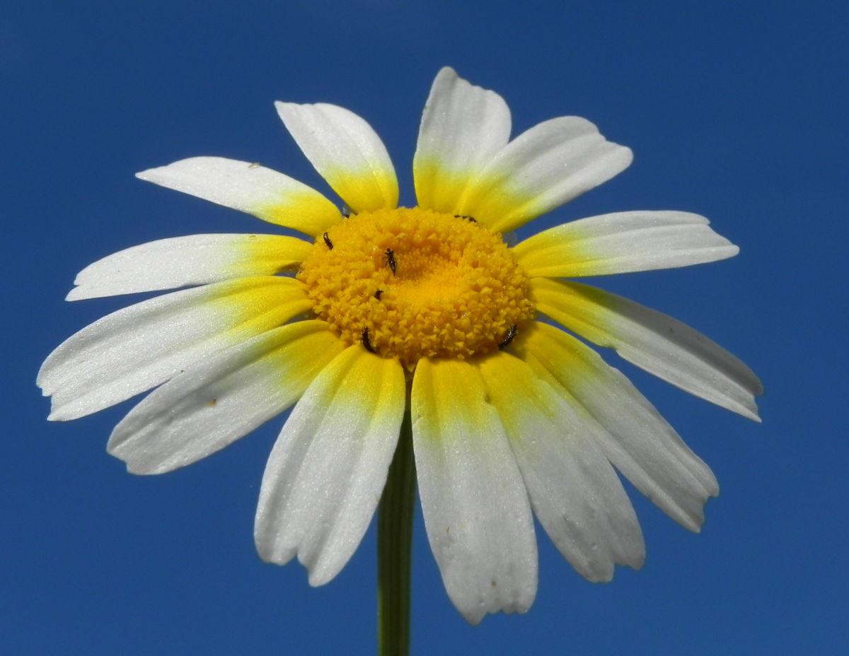 Kamille Bluete gelb weiss Hymenostemma pseudanthemis