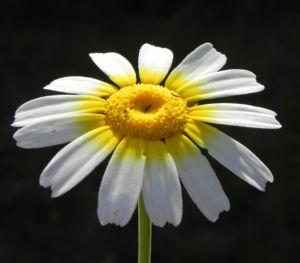 Kamille Bluete gelb weiss Hymenostemma pseudanthemis 04