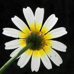Kamille Bluete gelb weiss Hymenostemma pseudanthemis 05