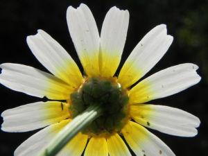 Kamille Bluete gelb weiss Hymenostemma pseudanthemis 06