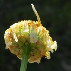 Kamille verblueht gelblich Hymenostemma pseudanthemis 02
