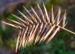 Zurück zum kompletten Bilderset Kamm Quecke Gras Samen Ähre - Agropyron cristatum