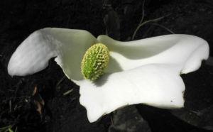 Kamtschatka Riesenaronstab Bluete weiß Lysichiton camtschatcensis 05