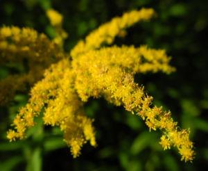 Kanadische Goldrute Bluete gelb Solidago canadensis 30
