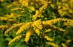 Kanadische Goldrute Bluete gelb Solidago canadensis 32