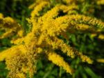 Kanadische Goldrute Bluete gelb Solidago canadensis 33