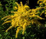 Bild: Kanadische Goldrute Blüte gelb Solidago canadensis