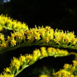 Bild: Kanadische Goldrute Blütenrispen Solidago canadensis