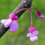 Kanadischer Judasbaum Bluete rose Cercis canadensis 01