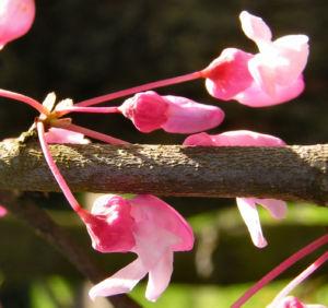 Kanadischer Judasbaum Bluete rose Cercis canadensis 02