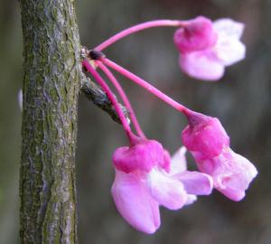 Kanadischer Judasbaum Bluete rose Cercis canadensis 06