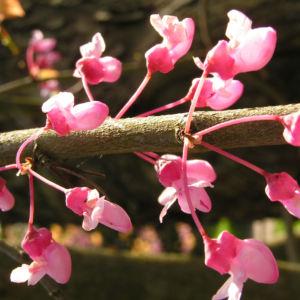 Kanadischer Judasbaum Bluete rose Cercis canadensis 07