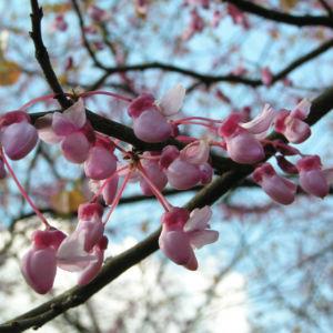 Kanadischer Judasbaum Bluete rose Cercis canadensis 09