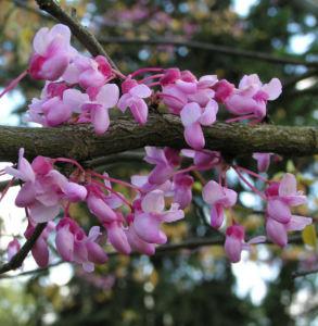 Kanadischer Judasbaum Bluete rose Cercis canadensis 10