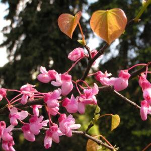 Kanadischer Judasbaum Bluete rose Cercis canadensis 11