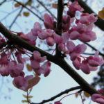 Kanadischer Judasbaum Bluete rose Cercis canadensis 12