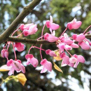 Kanadischer Judasbaum Bluete rose Cercis canadensis 13