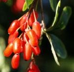 Kanadischer Sauerdorn Frucht rot Berberis canadensis 01