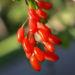 Zurück zum kompletten Bilderset Kanadische Berberitze Frucht rot Berberis canadensis