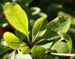 Kanadischer Sauerdorn Frucht rot Berberis canadensis 04