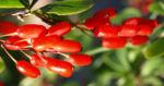 Kanadischer Sauerdorn Frucht rot Berberis canadensis 05