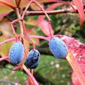 Kanadischer Schneeball Frucht dunkelblau Viburnum lentago 01