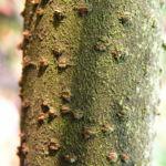 Kanadischer Schneeball Frucht dunkelblau Viburnum lentago 03