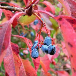 Kanadischer Schneeball Frucht dunkelblau Viburnum lentago 04