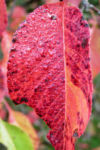 Kanadischer Schneeball Frucht dunkelblau Viburnum lentago 05