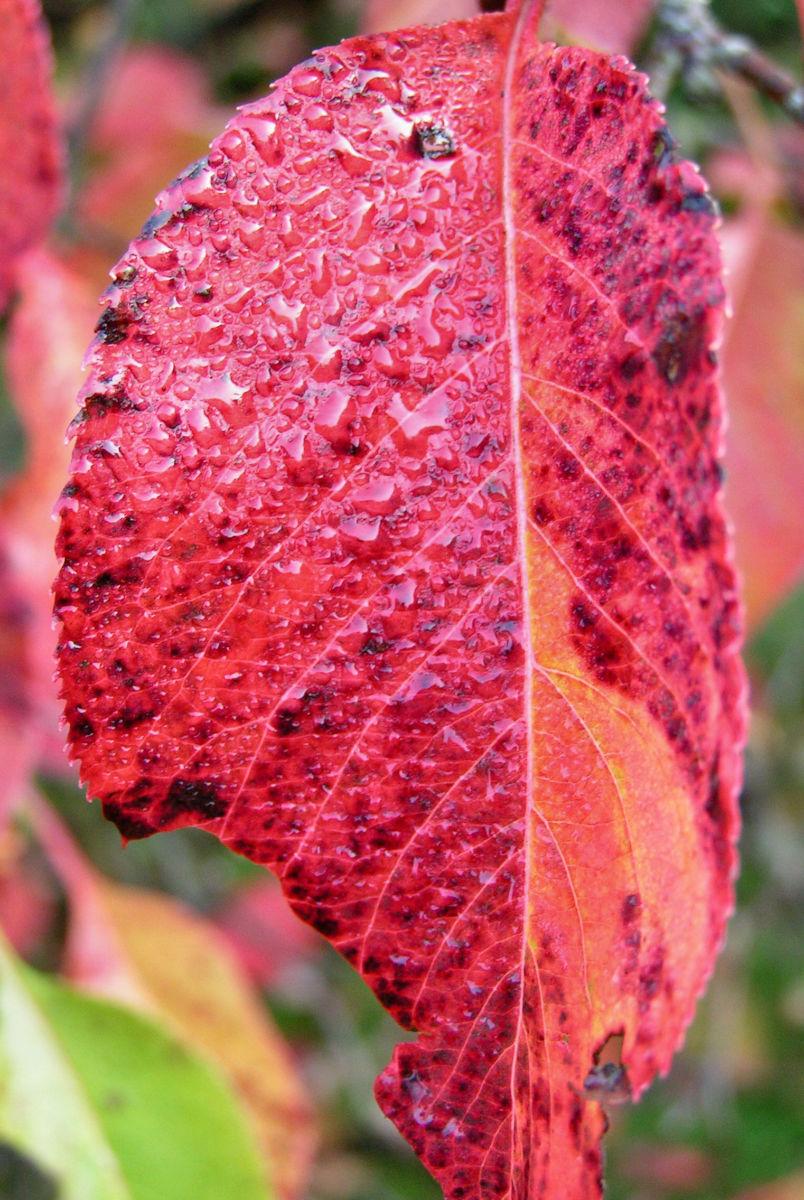 Kanadischer Schneeball Frucht dunkelblau Viburnum lentago