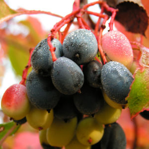 Kanadischer Schneeball Frucht dunkelblau Viburnum lentago 06