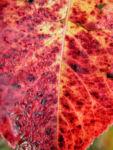 Kanadischer Schneeball Frucht dunkelblau Viburnum lentago 07