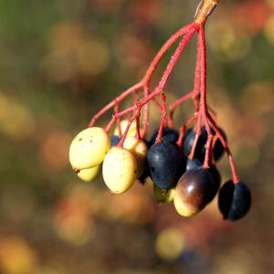 Kanadischer Schneeball Schafsbeere Frucht blau gelb Blatt rot Viburnum lentago 01