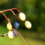 Kanadischer Schneeball Schafsbeere Frucht blau gelb Blatt rot Viburnum lentago 02