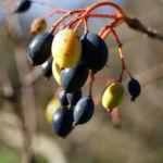 Kanadischer Schneeball Schafsbeere Frucht blau gelb Blatt rot Viburnum lentago 03