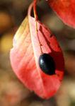 Kanadischer Schneeball Schafsbeere Frucht blau gelb Blatt rot Viburnum lentago 05