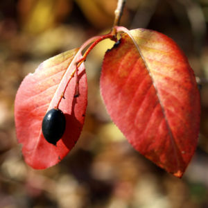 Kanadischer Schneeball Schafsbeere Frucht blau gelb Blatt rot Viburnum lentago 06