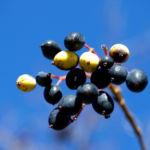 Kanadischer Schneeball Schafsbeere Frucht blau gelb Blatt rot Viburnum lentago 07