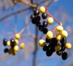Kanadischer Schneeball Schafsbeere Frucht blau gelb Blatt rot Viburnum lentago 08
