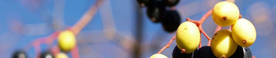 kanadischer-schneeball-frucht-blau-gelb-blatt-rot-viburnum-lentago