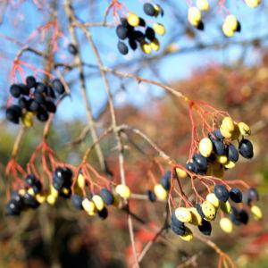Kanadischer Schneeball Schafsbeere Frucht blau gelb Blatt rot Viburnum lentago 09